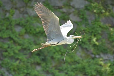 巣作りのため枝を運ぶ蒼鷺