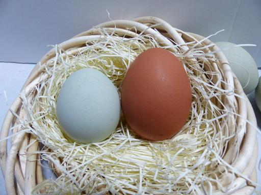アローカナの卵とニワトリの卵の背比べ