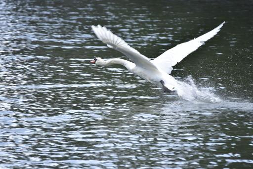 白鳥の離水