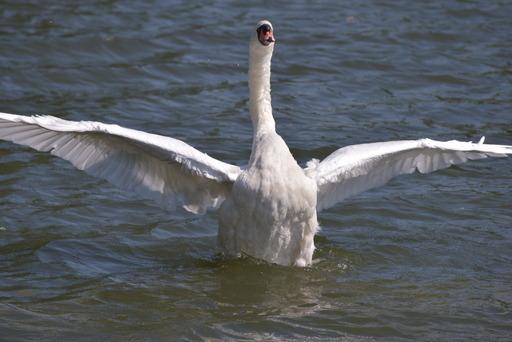 羽搏く白鳥