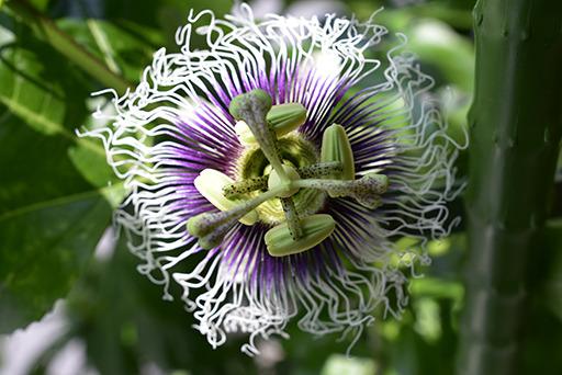 時計草の花